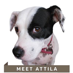 Attila_the_Designer_dog_NicteCreativeDesign