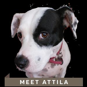 Attila_the_Designer_dog_NicteCreativeDesign